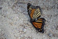 Сопрягая цветок бабочек монарха Стоковое Фото