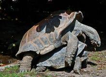 Сопрягая черепахи Стоковое Изображение RF