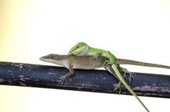 Сопрягая ящерицы Anole хамелеона зеленые, Georgia США Стоковые Фотографии RF