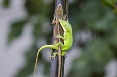 Сопрягая ящерицы Anole хамелеона зеленые, Georgia США Стоковая Фотография