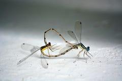 Сопрягая Dragonflies Стоковые Изображения