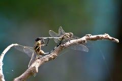 Сопрягая dragonfly в положении колеса телеги Стоковая Фотография
