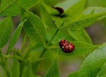 2 сопрягая ladybirds на лист завода Стоковое фото RF