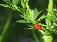 Сопрягая Ladybugs или Coccinellids на черенок петрушки Стоковое Изображение RF