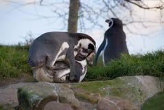 сопрягая penquins Стоковая Фотография