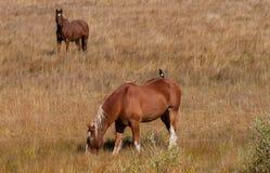 Сорока на задней части лошади Стоковое Изображение
