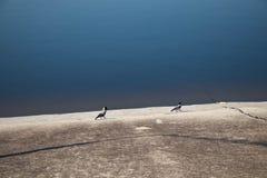 2 сороки на береге резервуара пойти после одина другого стоковые изображения rf