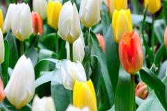Сортированные тюльпаны стоковая фотография rf