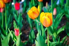 Сортированные тюльпаны стоковое изображение