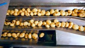 Сортировать движения транспортера слезл картошки на фабрике еды видеоматериал
