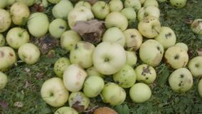 Сортировать плохие и хорошие упаденные на том основании яблоки сток-видео