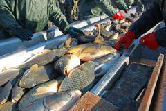 Сортировать пресноводной рыбы Стоковые Фото