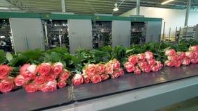 Сортировать роз на фабрике цветка акции видеоматериалы