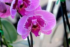 Сорт растения фаленопсиса розовый с фиолетовой скачками нашлепкой стоковое фото rf