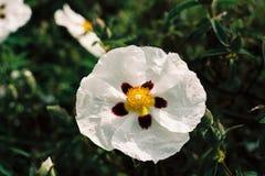 Сорт растения Cistus Стоковое Фото