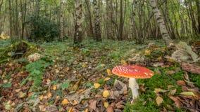 Сор лист пластинчатого гриба мухы Стоковые Изображения RF