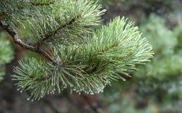 сосенка ветви близкая вверх стоковое изображение rf