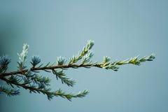 сосенка ветви холодная Стоковые Изображения RF