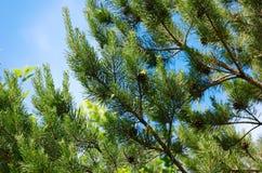 сосенка ветви Стоковое Фото