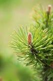 сосенка ветви Стоковое Изображение