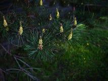 сосенка ветви Стоковые Фото