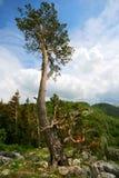 сосенка гор старая Стоковое Фото