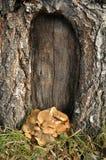 сосенка грибка кронштейна Стоковая Фотография RF