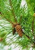 сосенка ели конуса ветви Стоковое Изображение RF