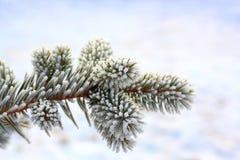 сосенка заморозка Стоковое Изображение RF