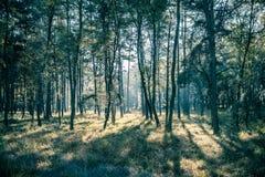 сосенка зеленого цвета пущи Стоковое Фото