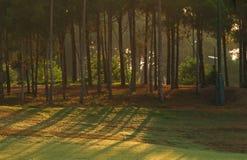 сосенка зеленого цвета пущи Стоковая Фотография