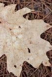 сосенка игл листьев Стоковое Изображение RF