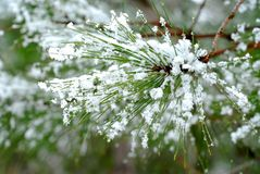 сосенка игл снежная стоковое фото rf