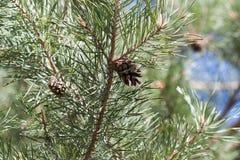 сосенка конуса ветви Стоковые Изображения RF