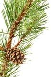 сосенка конуса ветви Стоковые Фото
