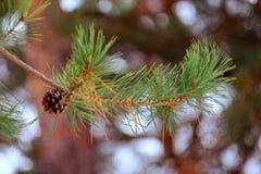 сосенка конуса ветви Стоковое Фото