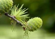 сосенка конуса зеленая Стоковая Фотография RF