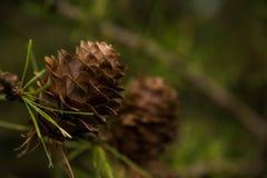 сосенка конуса малая стоковая фотография rf