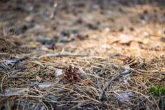 сосенка конуса старая Стоковые Фото