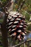сосенка конуса Стоковое Изображение RF