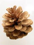 сосенка конуса Стоковое фото RF