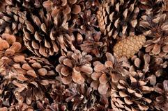 сосенка конусов Стоковые Фото