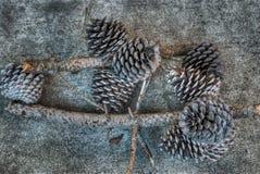 сосенка конусов Стоковые Фотографии RF