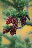 сосенка конусов Стоковая Фотография