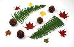 сосенка листьев папоротников конусов Стоковые Фотографии RF