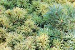 сосенка листьев Стоковые Изображения
