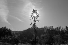 сосенка одиночная Стоковая Фотография