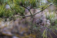сосенка предпосылки близким изолированная конусом вверх по белизне Стоковые Фото