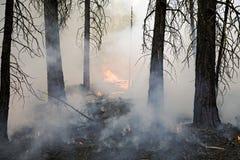 сосенка пущи пожара Стоковая Фотография RF