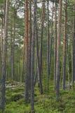 сосенка пущи Стоковые Фотографии RF